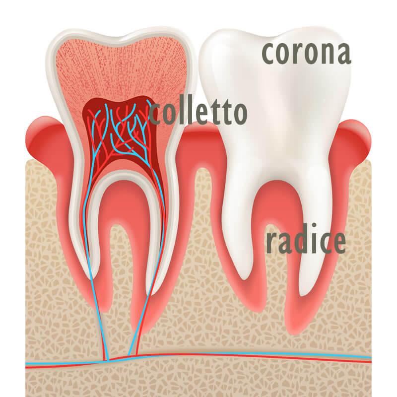 Studio Dentistico Oriolo   Ostia Lido   Come Sono Fatti I Denti